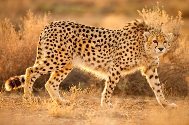 foto-cheetah-berada-di-ambang-kepunahan-1