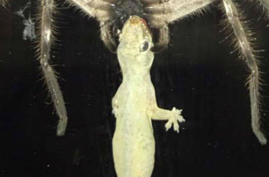 gecko-face