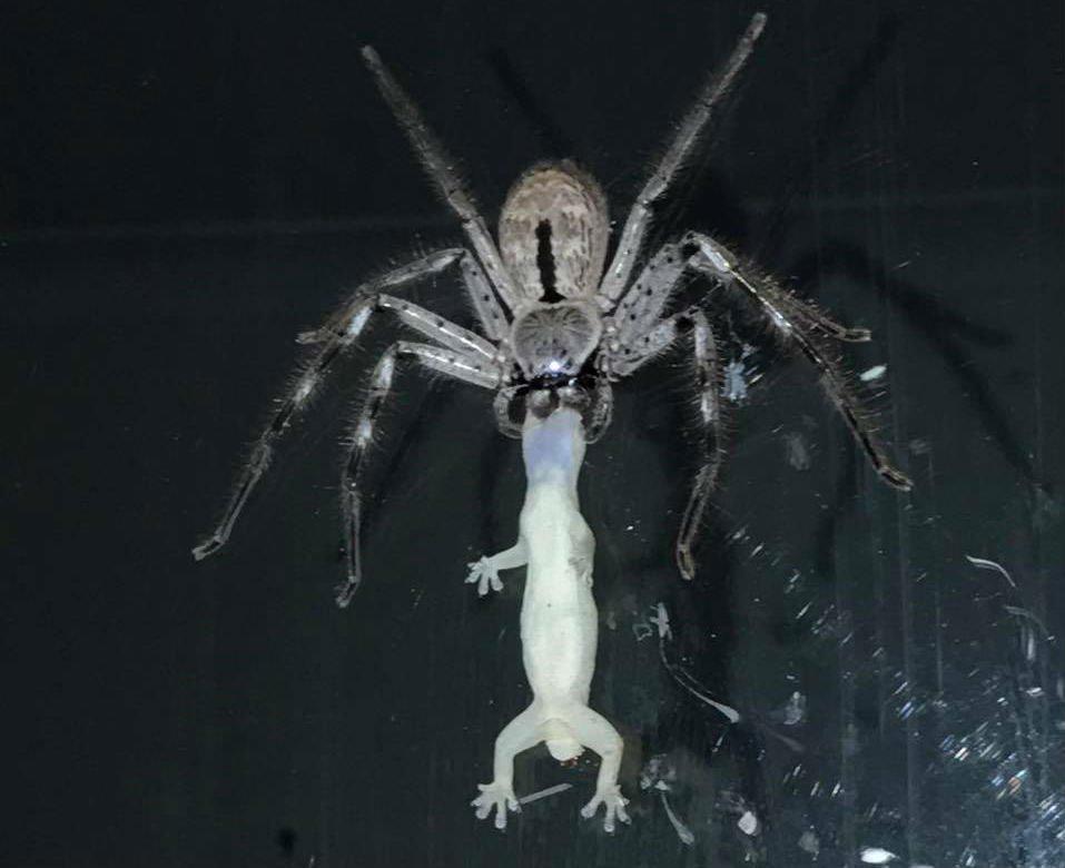 spider-gecko