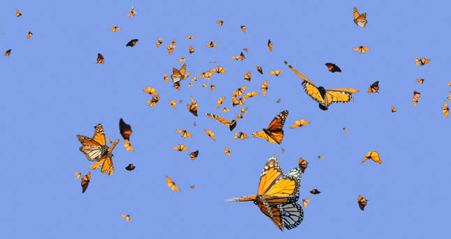 Monarchs-Final_edit-slide