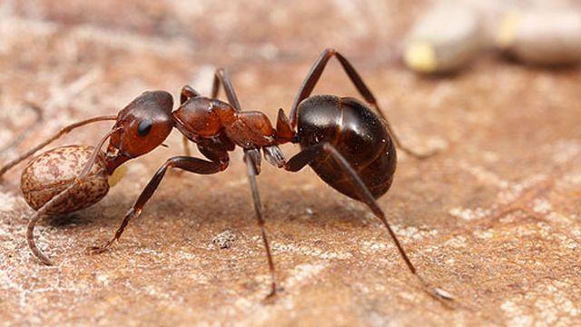 mravkite-go-naogjaat-svojot-pat-duri-i-koga-se-dvizhat-nanazad