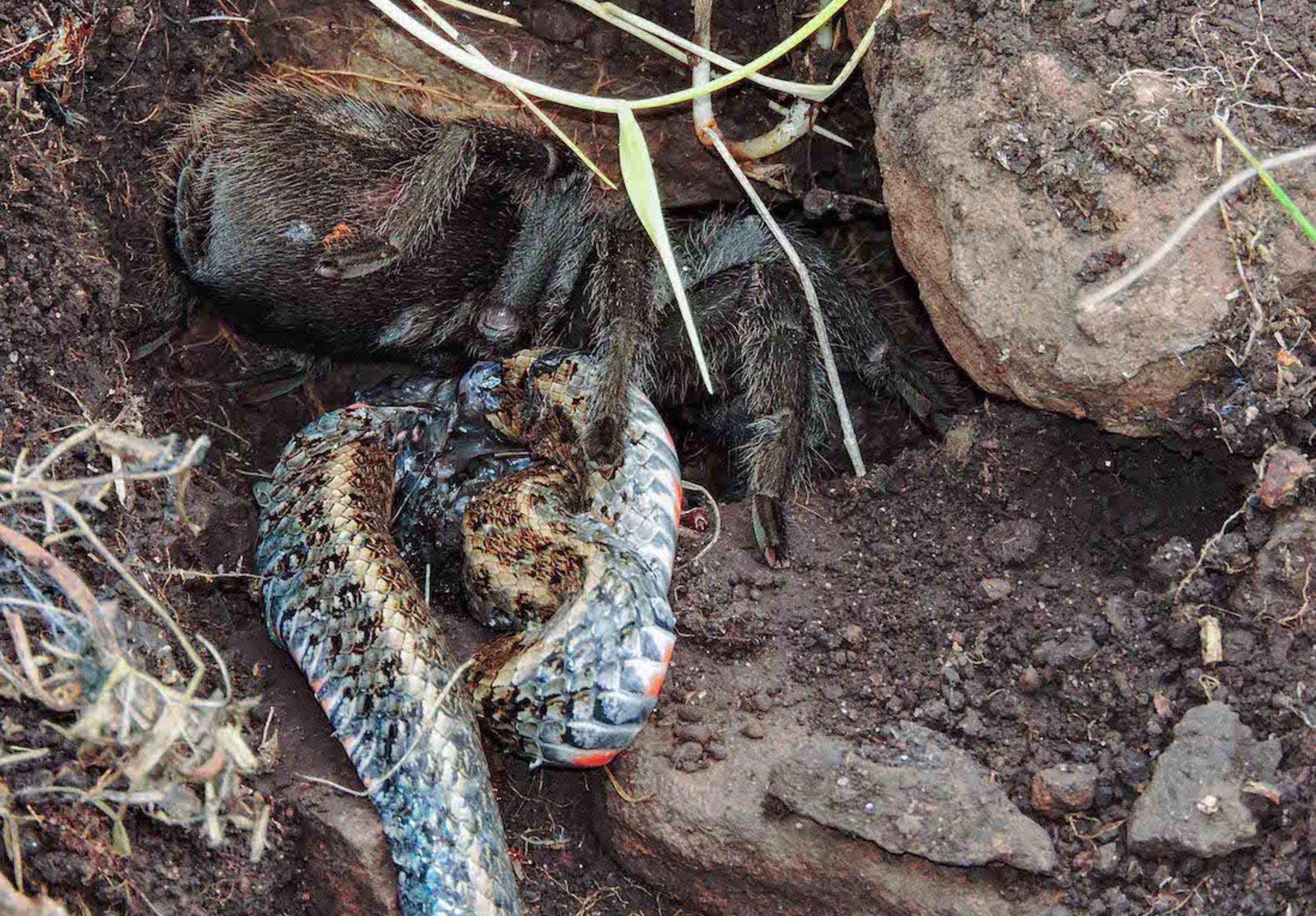 full-snake-spider