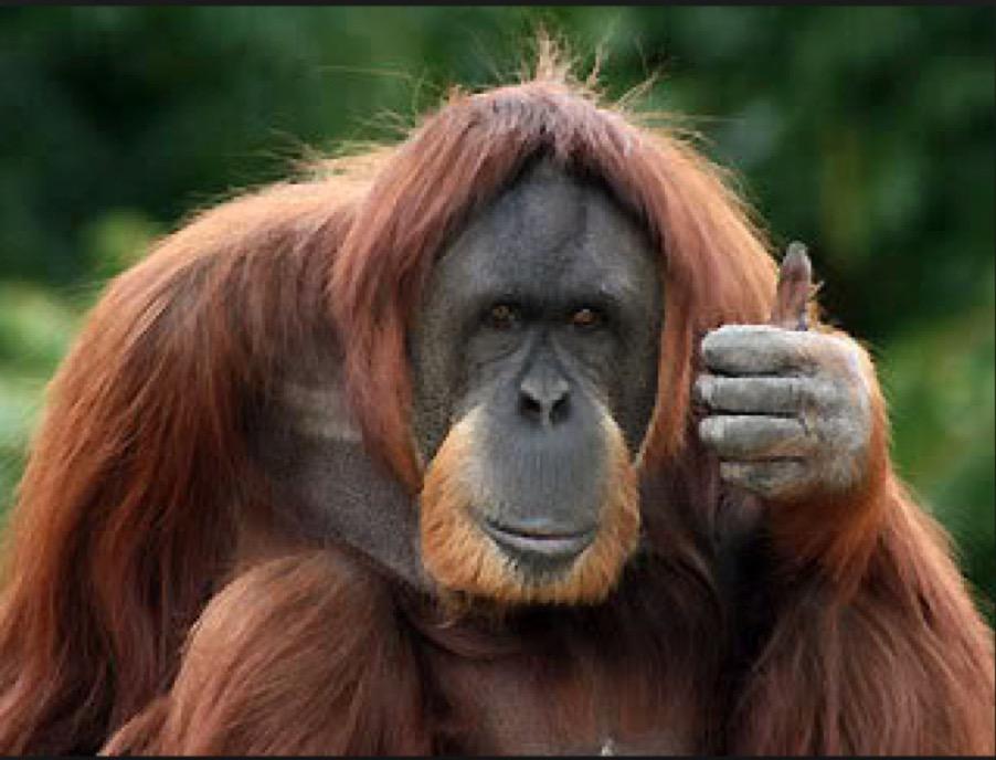 zvucite-koi-gi-pravi-orangutanot-go-rasvetluvaat-potekloto-na-chovechkata-komunikacija