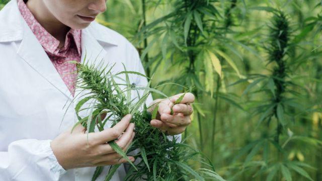 Oтсега ќе може да се дипломира на студии за марихуана