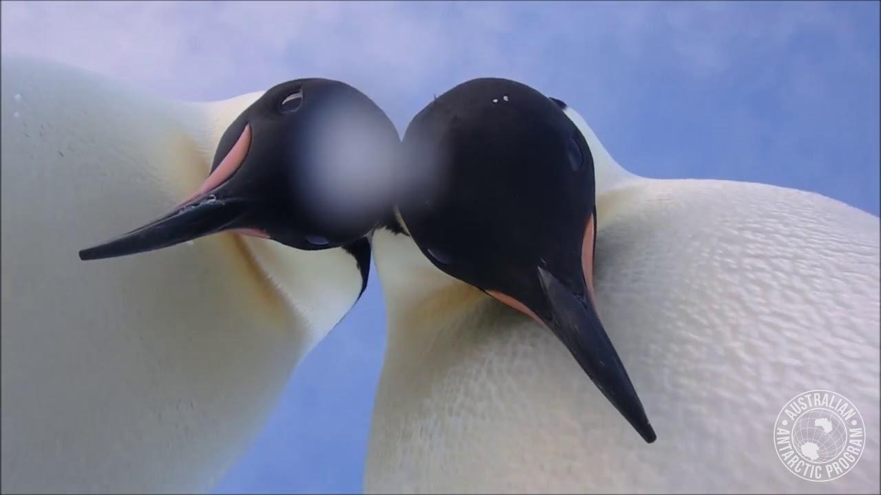 Селфи  трендот го следат два пингвини на Антарктикот