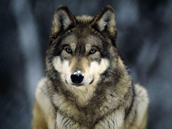 grey-wolf_565_600x450.jpg-550x0