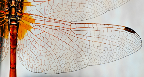 dragonfly-wing-closeup