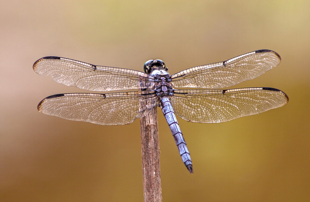 dragonfly_wings_blog