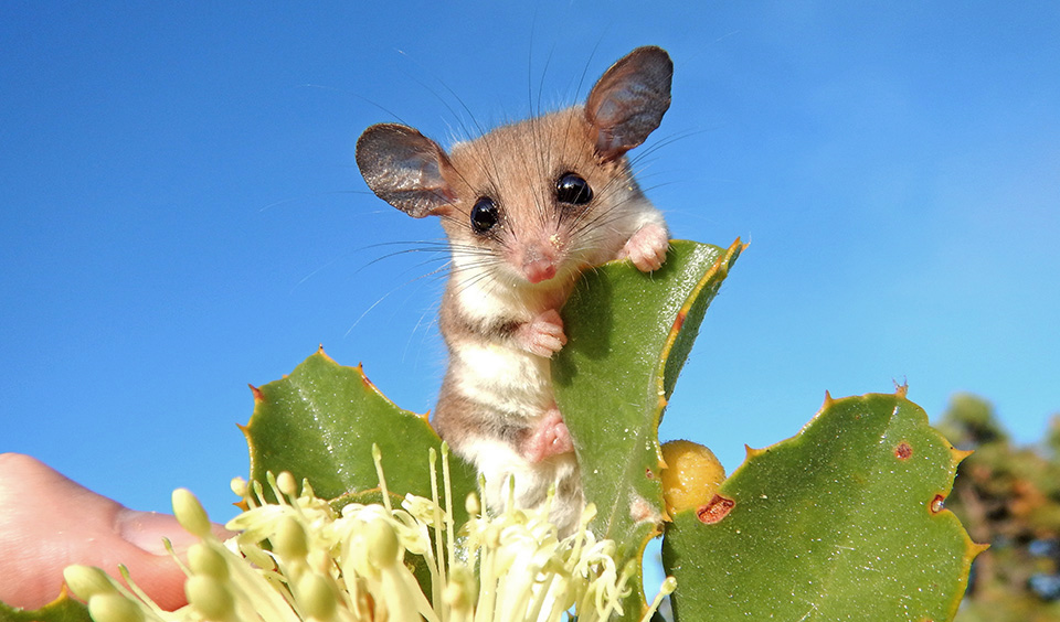 Possuwestern-pygmy-possum-wa-(1)