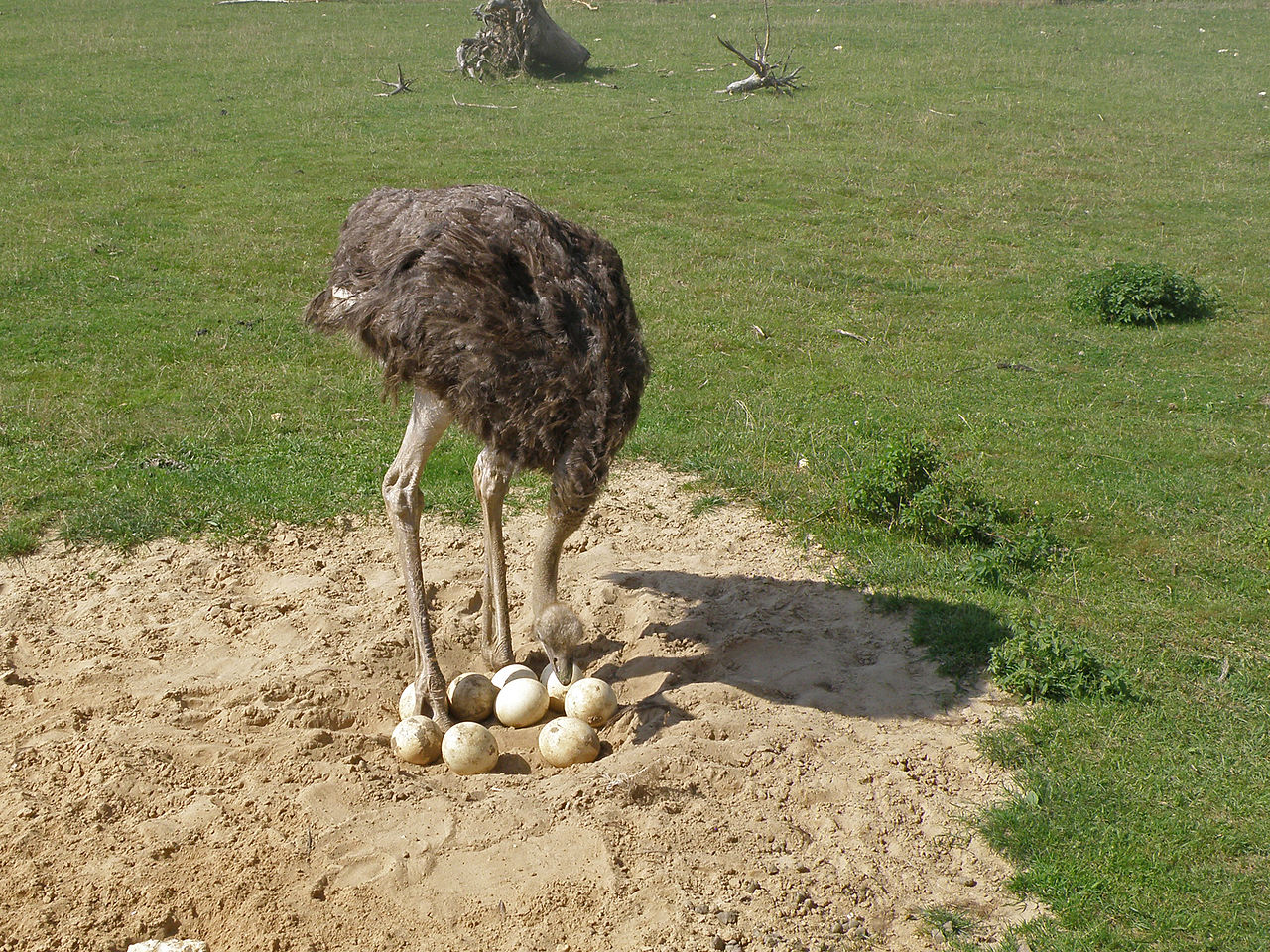 ostrich-nest