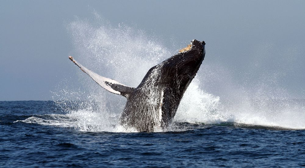 Breaching-humpback-whale-courtesy-Punta-Mita-Expeditions