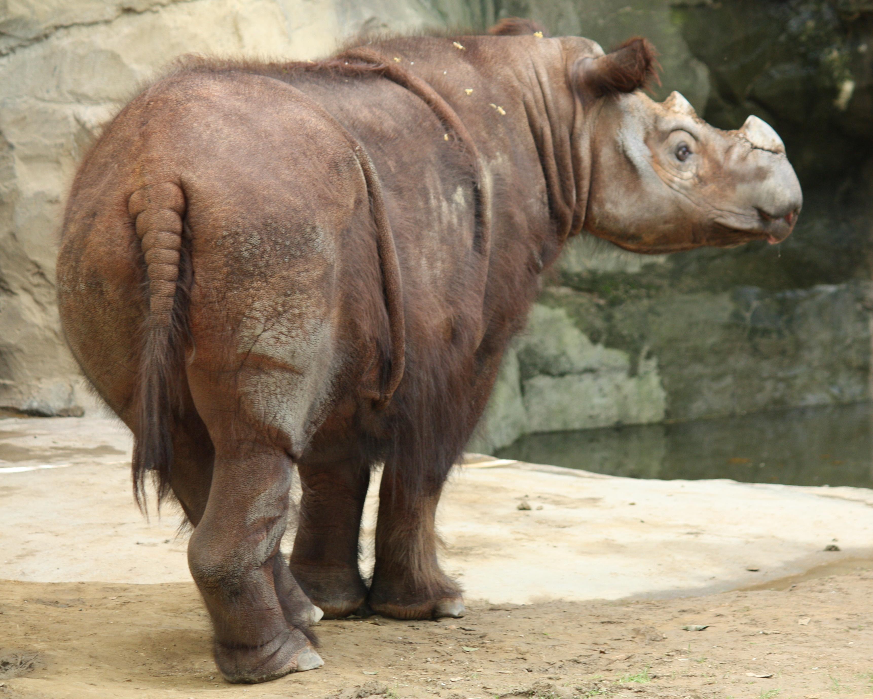 SumatranRhino3_CincinnatiZoo