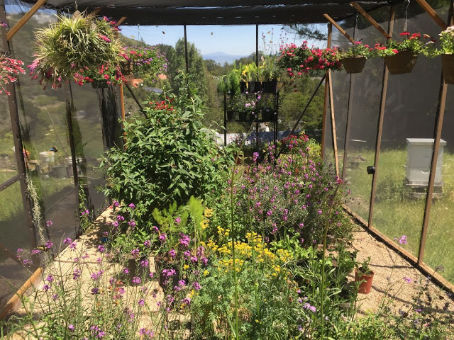 Tim-Wong's-backyard-butterfly-enclosure-includes-the-California-pipevine-plant-along-with-other-native-flora-to-make-the-butterflies-feel-at-home.