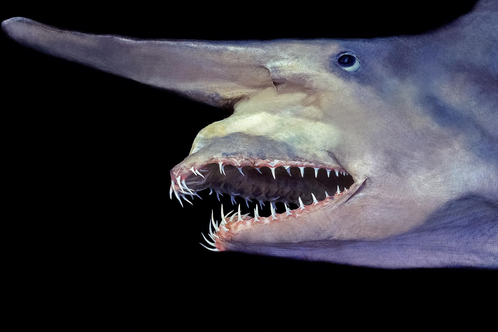 goblin-shark-jaw