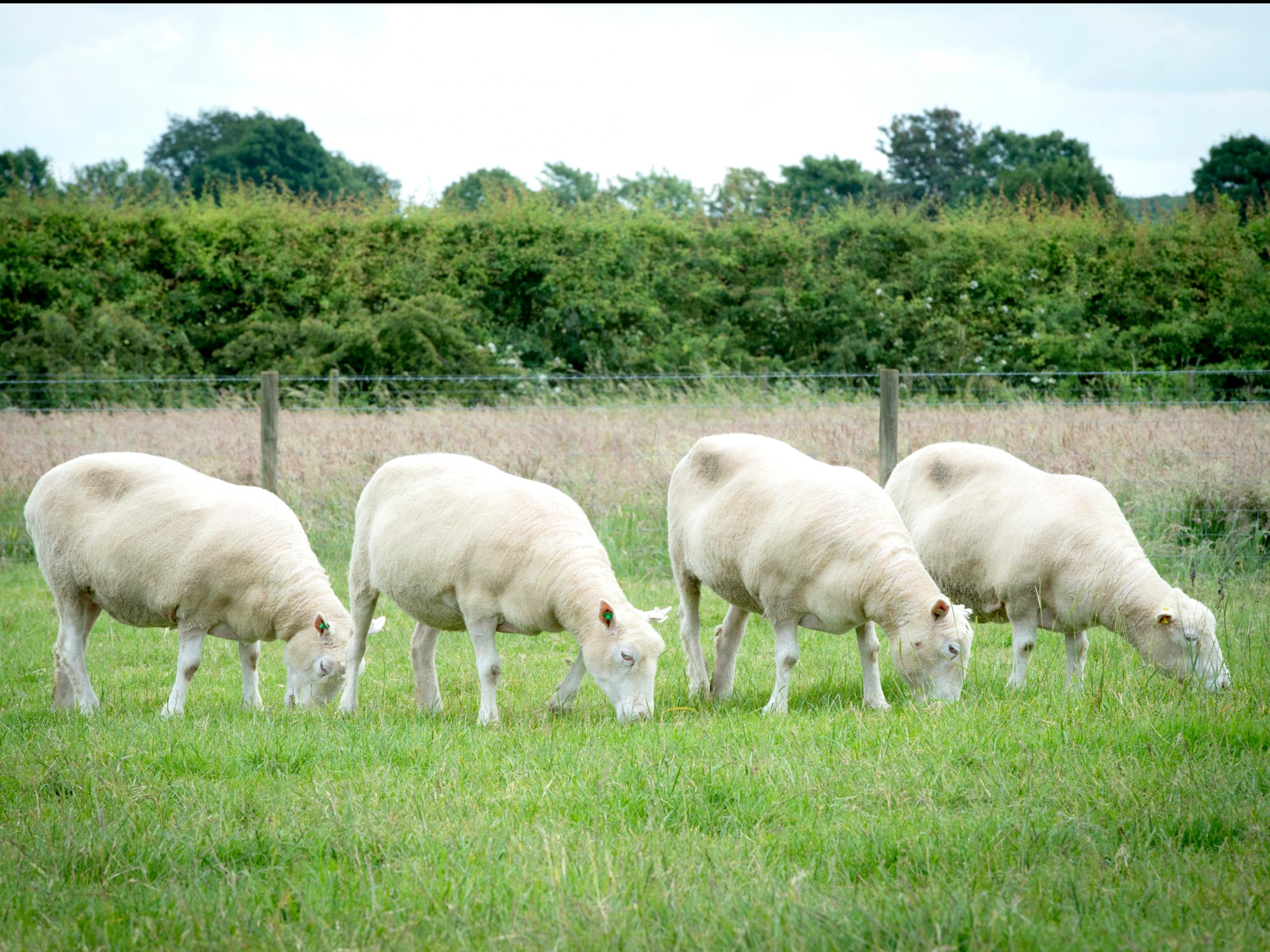 nottingham-dollies-grazing-cloned-sheep