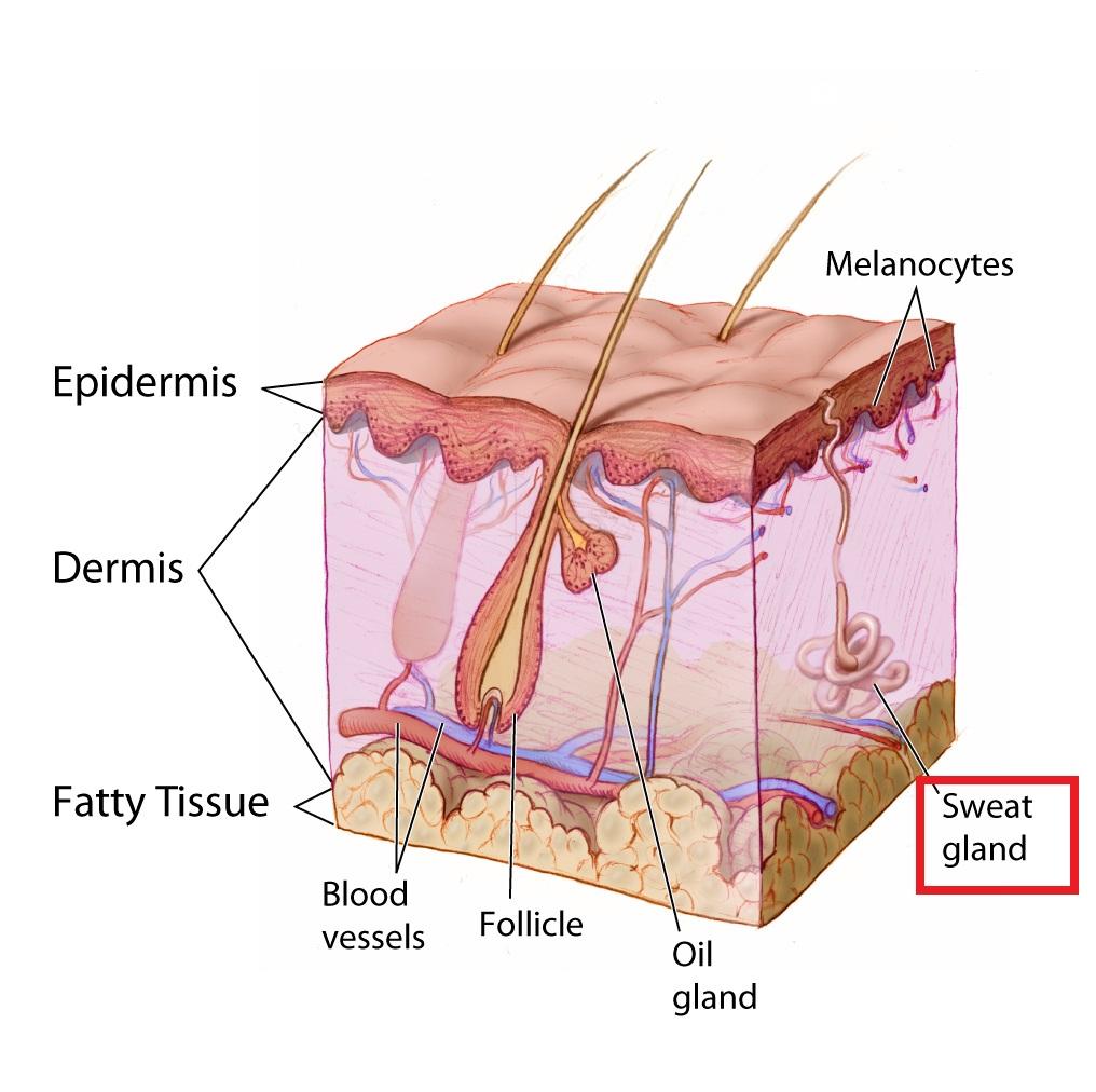 skin-sweat-gland