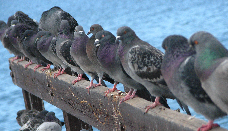 pigeons-use
