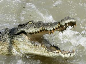 10-crocodiles-1000-deaths-a-year
